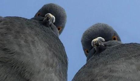 palomas sospechosas