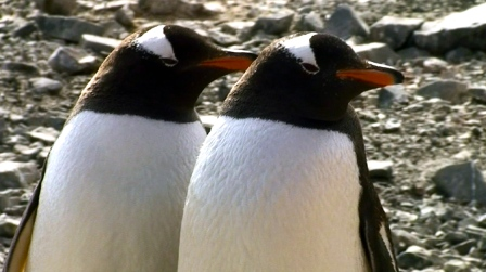 pinguinos pareja
