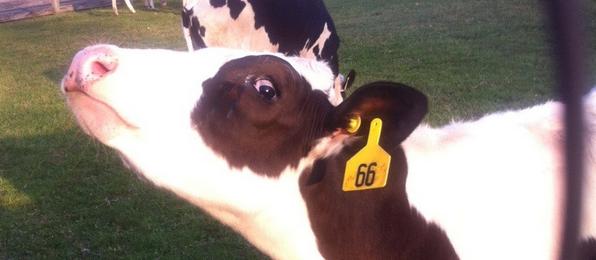 vaca sospechando